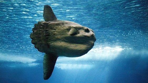 Finding Mola Mola in Nusa Penida