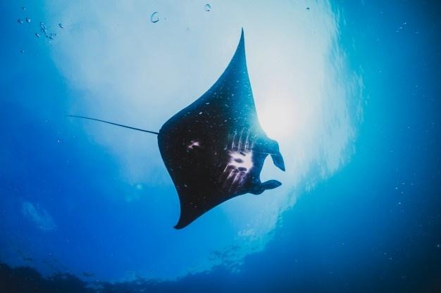 manta ray komodo snorkeling